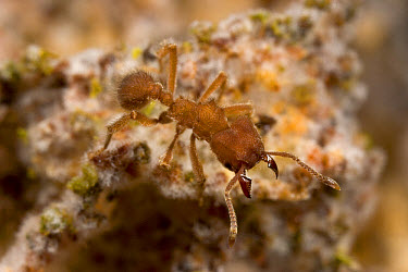 Ant (Sericomyrmex amabilis) on fungus garden, white clumps are gongylidia - the nutritious fungal growths consumed by the ants which sprout from the matrix of leaf matter, Costa Rica  -  Piotr Naskrecki