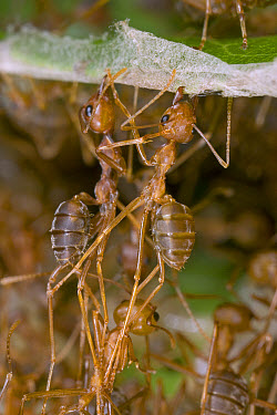 Weaver Ant (Oecophylla longinoda) workers pulling together leaves and holding them in place until other individuals bring the living tubes of glue, their own larvae, Guinea, West Africa  -  Piotr Naskrecki