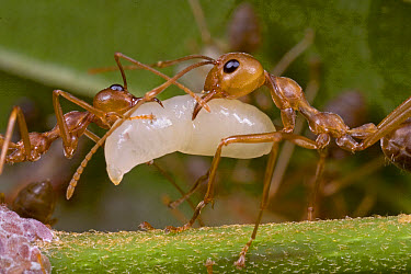 Weaver Ant (Oecophylla longinoda) worker pair with larvae which have silk-producing glands and if gently squeezed by workers, they can apply it to leaves like glue, Guinea, West Africa  -  Piotr Naskrecki