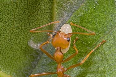 Weaver Ant (Oecophylla longinoda) worker gently squeezing larvae for silk glue used to bind leaves into a nest, Guinea, West Africa  -  Piotr Naskrecki
