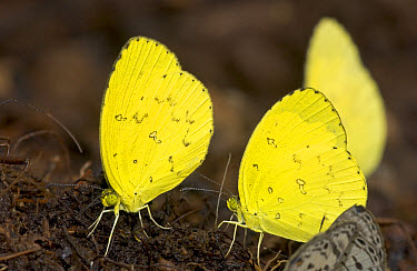 Common Grass Yellow (Eurema hecabe) butterfly males gather on pile of dung to sip minerals, Guinea, West Africa  -  Piotr Naskrecki