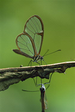 Nymphalid Butterfly (Pteronymia sp) males collecting toxic plant metabolites used to produce pheromones and to make their bodies unpalatable, Brazil  -  Piotr Naskrecki