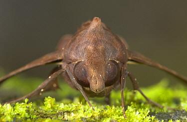 Hawk Moth (Enyo sp) portrait showing compound eyes, Costa Rica  -  Piotr Naskrecki