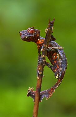 Fantastic Leaf-tail Gecko (Uroplatus phantasticus) clinging to a twig, Madagascar  -  Piotr Naskrecki