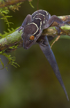 Banded Leaf-toed Gecko (Hemidactylus fasciatus) portrait, Guinea, West Africa  -  Piotr Naskrecki