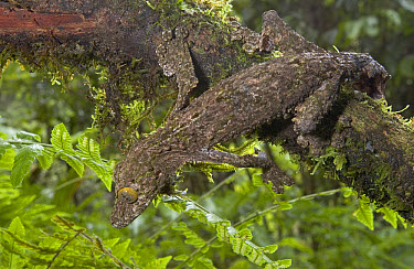 Leaf-tailed Gecko (Uroplatus sikorae) body covered in small flaps and fringes to distort its outline further blending it into its surroundings, Madagascar  -  Piotr Naskrecki