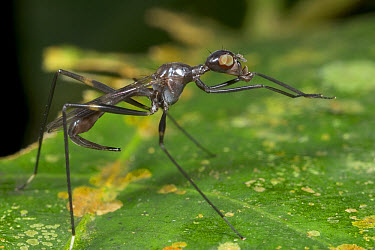 Stilt-legged Fly (Micropezidae) rubbing forelegs together to clean them, Guinea, West Africa  -  Piotr Naskrecki