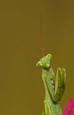 Praying Mantis (Mantis sp) portrait, Madagascar  -  Piotr Naskrecki