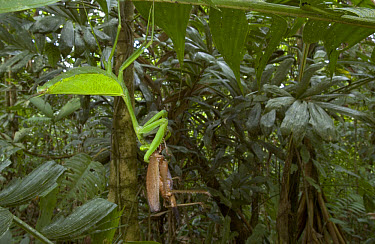 Giant Mantid (Macromantis hyalina) devouring Katydid (Idiarthron hamuliferum) lowland Atlantic Forest, Costa Rica  -  Piotr Naskrecki