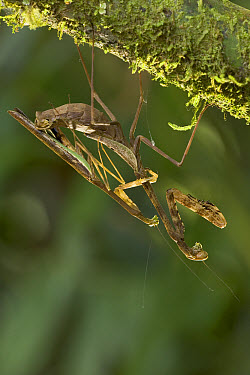 Mantid (Tauromantis championi) mating, male positions himself as far from female's front legs as possible to increase chances of survival  -  Piotr Naskrecki