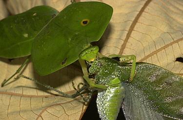 Hooded Praying Mantis (Choeradodis rhomboidea) devouring Katydid (Rossophyllum maculosum), Costa Rica  -  Piotr Naskrecki