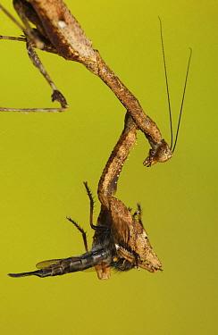 Praying Mantis (Mantis sp) with Robber Fly, Dominican Republic  -  Piotr Naskrecki