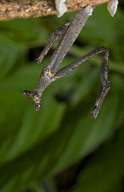 African Mantid (Sphodromantis sp), Guinea  -  Piotr Naskrecki