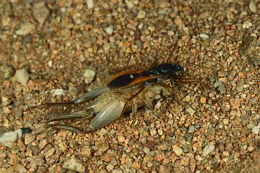 An unidentified cricket killed by an Assassin Bug, Australia  -  Piotr Naskrecki