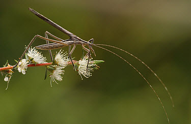 Pollen Katydid (Kawanaphila sp) covered with fine, soft hair making them ideal pollinators, Australia  -  Piotr Naskrecki