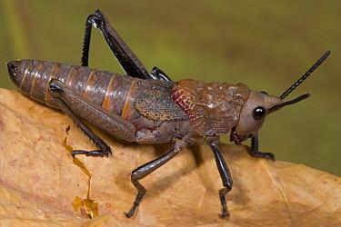 African Foam Grasshopper (Dictyophorus cuisinieri), Guinea, Sequence 1 of 2  -  Piotr Naskrecki