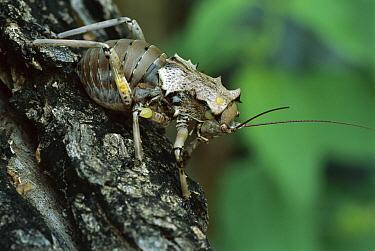Katydid (Enyaliopsis transvaalensis) camouflaged against tree trunk, Costa Rica  -  Piotr Naskrecki