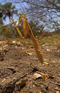 Grass Mantid (Hoplocorypha atra) mimicking dry grass stalk feeding on grasshopper, Botswana  -  Piotr Naskrecki