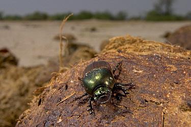 Bronze Dung Beetle (Onitis alexis) on a pile of dried dung, Botswana  -  Piotr Naskrecki