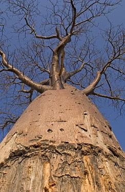 Baobab (Adansonia digitata) tree showing damage from Elephant rubbing to remove ticks, Botswana  -  Piotr Naskrecki