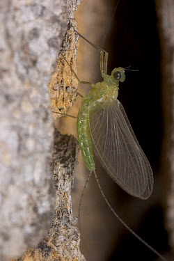 Mayfly (Ephemeroptera) found under loosened bark of Elephant damaged Baobab, Botswana  -  Piotr Naskrecki