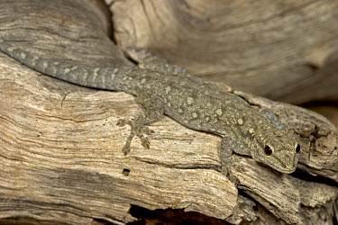 Moreau's Tropical House Gecko (Hemidactylus mabouia) found living under bark of Elephant damaged Baobab, Botswana  -  Piotr Naskrecki