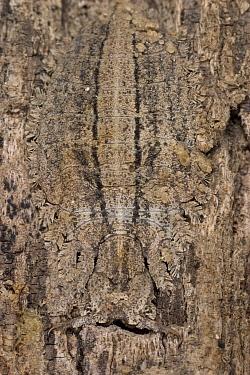 Owl Fly (Ascalaphidae) larva, camouflaged on the trunk of a savannah tree, Botswana  -  Piotr Naskrecki
