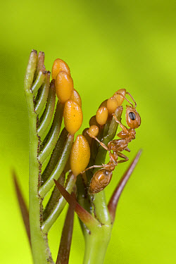 Acacia Ant (Pseudomyrmex flavicornis) collecting beltian bodies from young leaves of Acacia to feed their larvae, Costa Rica  -  Piotr Naskrecki