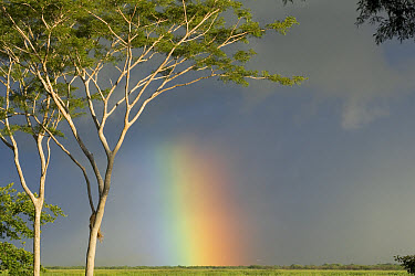 Rainbow over savanna with Bullhorn Acacia trees, Costa Rica  -  Piotr Naskrecki