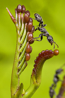 Ant (Pseudomyrmex nigrocinctus) collecting beltian bodies from young leaves of Acacia to feed their larvae, Costa Rica  -  Piotr Naskrecki