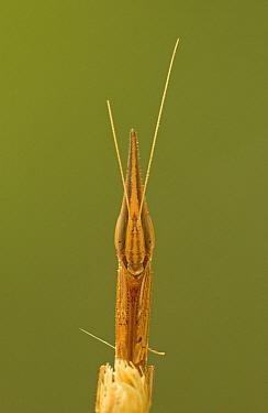 Mantid (Pyrgomantis sp) close-up portrait, Guinea, West Africa  -  Piotr Naskrecki