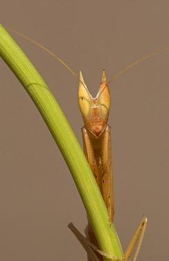 Double-coned Grass Mantid (Episcopomantis chalybea) close-up, Botswana  -  Piotr Naskrecki