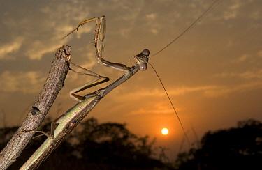 African Savannah Mantid (Polyspilota aeruginosa) clinging to stick at sunset, Guinea, West Africa  -  Piotr Naskrecki