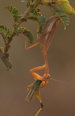 African Mantid (Sphodromantis sp) hanging from Acacia while consuming prey, Guinea, West Africa  -  Piotr Naskrecki