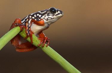 Painted Reed Frog (Hyperolius marmoratus) clinging to stem, Botswana  -  Piotr Naskrecki