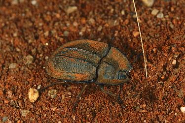 Darkling Beetle camouflaged against sand, Australia  -  Piotr Naskrecki