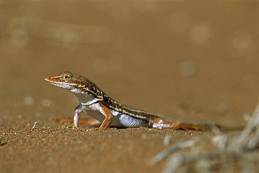 Smith's Desert Lizard (Meroles ctenodactylus) on sand, Namibia  -  Piotr Naskrecki