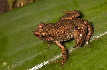 Squeaker Frog (Arthroleptis sp), Simandou Range, Guinea  -  Piotr Naskrecki