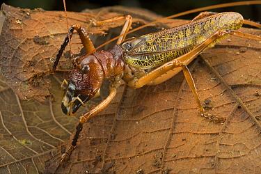 Katydid (Gnathoclita vorax) male showing large mandibles used in combat, Guyana  -  Piotr Naskrecki
