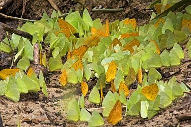 Pierid Butterfly (Pieridae) puddling on wet soil to extract mineral nutrients, Guyana  -  Piotr Naskrecki