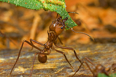 Leafcutter Ant (Atta sp) major worker carrying a piece of leaf to feed the underground fungal garden these insects cultivate, Guyana  -  Piotr Naskrecki