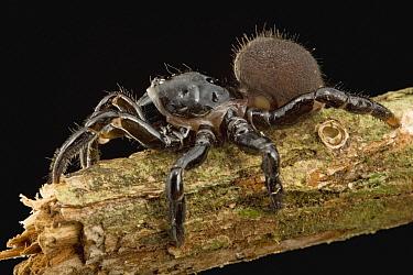Trapdoor Spider (Ummidia sp) family Ctenizidae, Guyana  -  Piotr Naskrecki