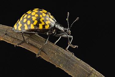Pleasing Fungus Beetle (Erotylus sp), Guyana  -  Piotr Naskrecki