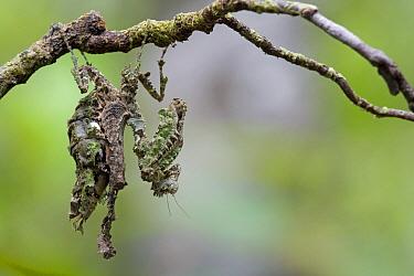 Mantid (Acanthops sp) mimicking branch, Kamoa River, Guyana  -  Piotr Naskrecki