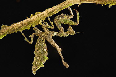 Mantid (Acanthops sp) hanging upside down on twig, Guyana  -  Piotr Naskrecki