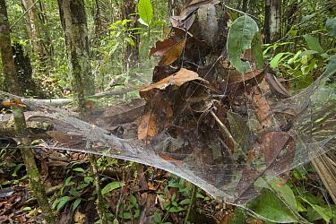 Social Spider (Anelosimus eximius) group in communal nest, Guyana  -  Piotr Naskrecki