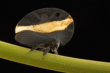 Treehopper (Membracis sp) with cryptically shaped pronotum and disruptive coloration that further hide the outline of the insect, Guyana  -  Piotr Naskrecki