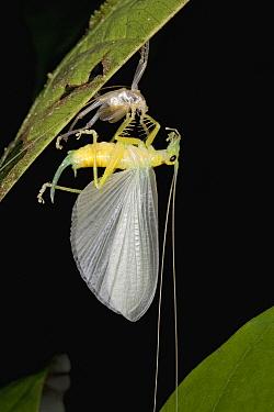 Raspy Cricket (Gryllacrididae) completing its final molt, Guyana  -  Piotr Naskrecki