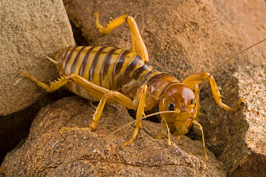 African Jerusalem Cricket (Sia sp) portrait, South Africa  -  Piotr Naskrecki