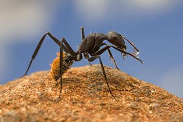 Bal-byter Ant (Camponotus fulvopilosus) cleaning its antennae, South Africa  -  Piotr Naskrecki